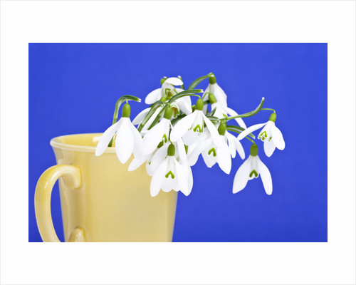 Snowdrops in plant pot by Corbis