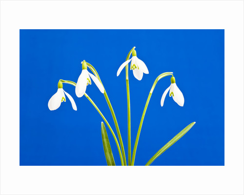 Snowdrop flowers by Corbis
