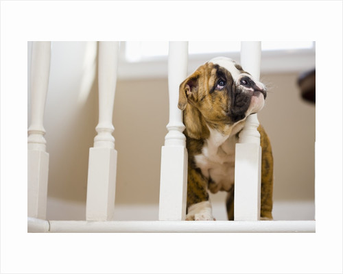 Bulldog puppy with head between balusters by Corbis