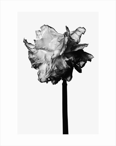 Flower by Corbis