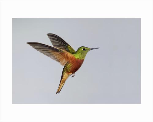 Chestnut-breasted Coronet in Flight by Corbis