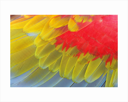 Feathers of a Scarlet Macaw by Corbis