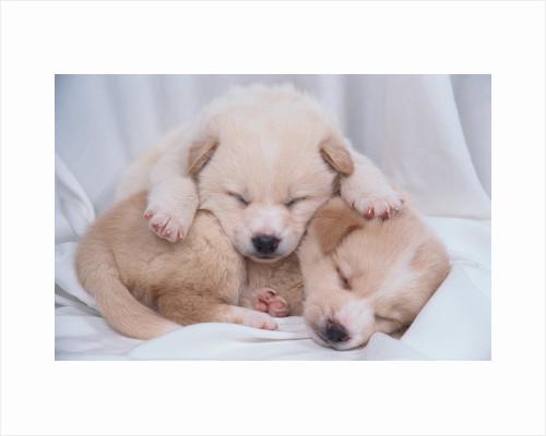 Studio Shot of Two Puppies Sleeping by Corbis