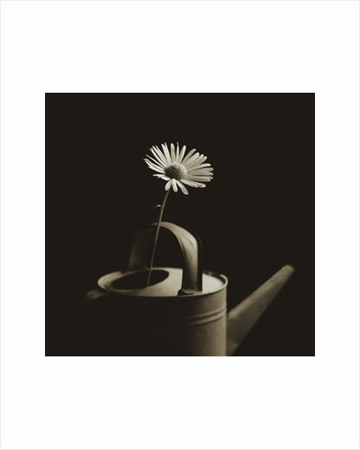 Single Daisy in Antique Watering Can by Tom Marks