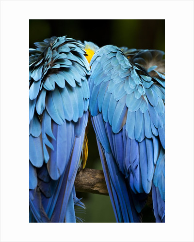 Two blue and gold macaws by Corbis