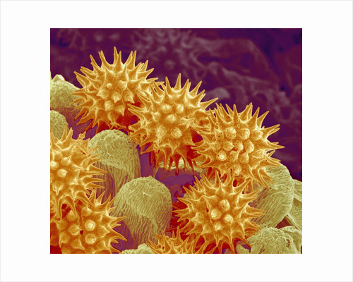 Sunflower pollen at a magnification of x1000 by Corbis