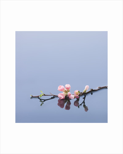 Cherry blossoms on water by Corbis