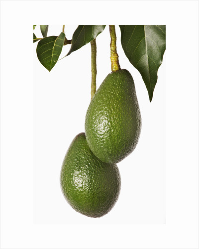 Avocados hanging from tree by Corbis