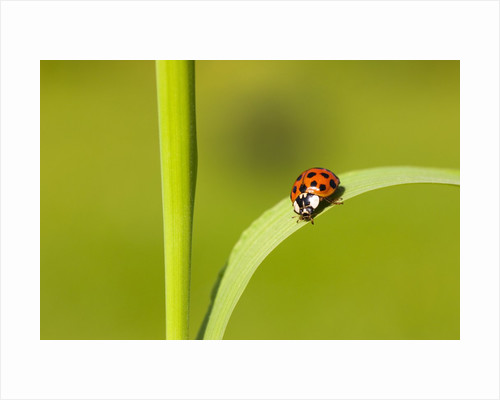 Asian lady beetle on blade of grass by Corbis
