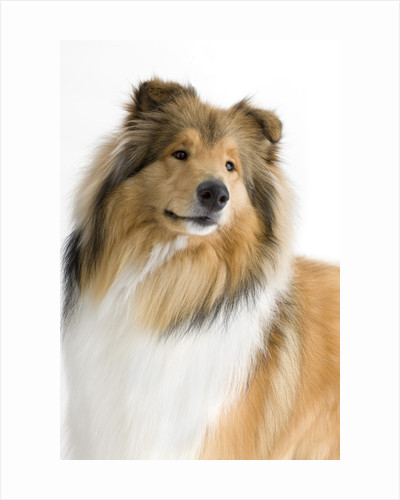 Rough collie show dog by Corbis
