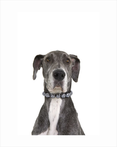 Great dane wearing a pearl necklace by Corbis