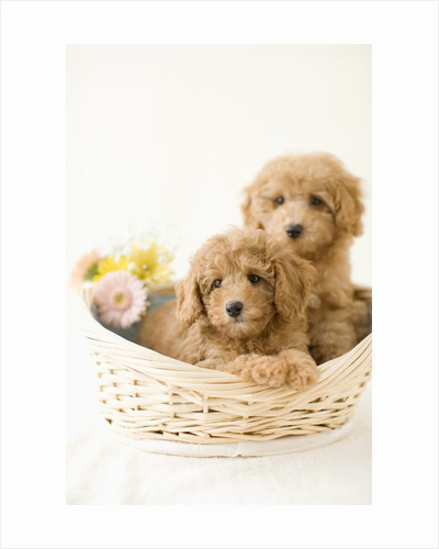 Dogs in basket by Corbis