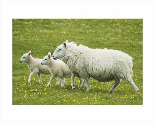 Ewe and lambs by Corbis