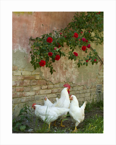 White chickens beneath roses by Corbis
