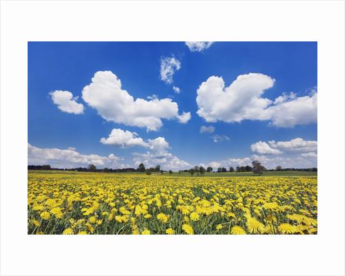 Field of dandelions by Corbis