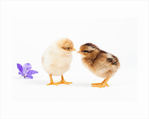 Day-old chicks by Corbis