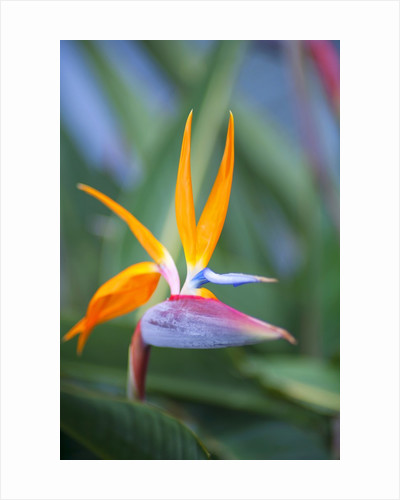 Bird-of-paradise flower on Maui by Corbis