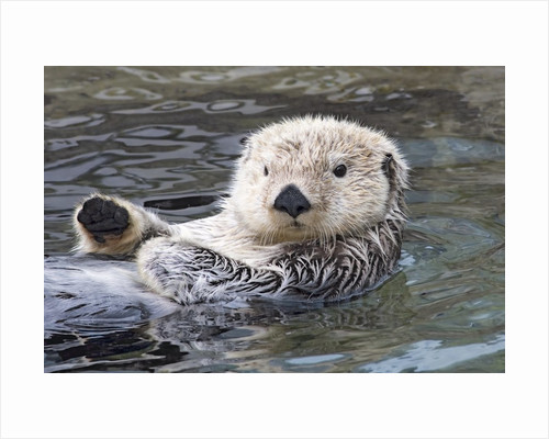 Southern sea otter hold paws up to conserve heat by Corbis