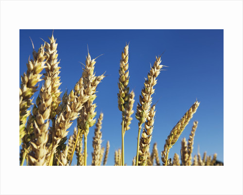 Golden wheat plants by Corbis