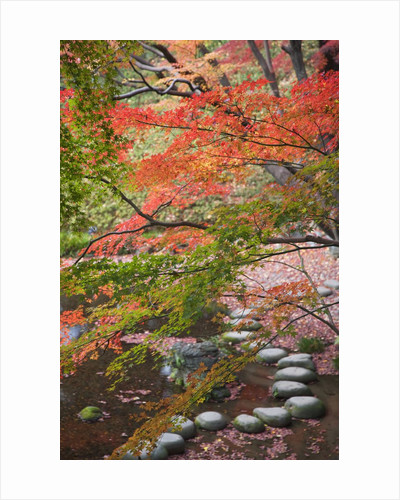 Steppingstones beneath Japanese maple by Corbis
