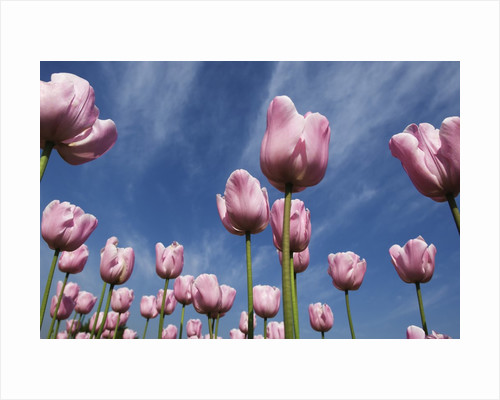 Pink tulips in a garden, Indira Gandhi Tulip Garden, Srinagar, Jammu And Kashmir, India by Corbis