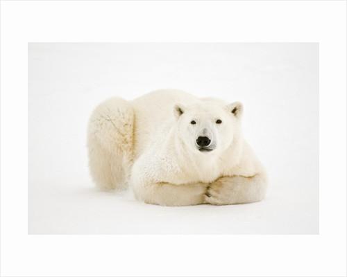 Polar Bear on ice in Hudson Bay by Corbis