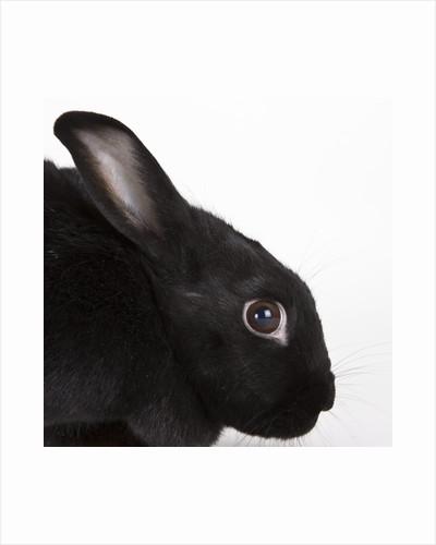 Black rabbit by Corbis