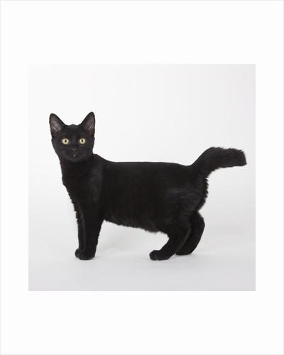 Black cat by Corbis