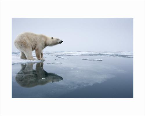Polar Bear on Melting Ice, Svalbard, Norway by Corbis