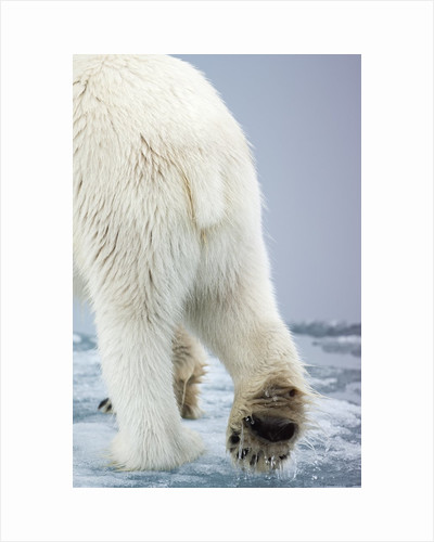 Polar Bear walking on pack ice by Corbis