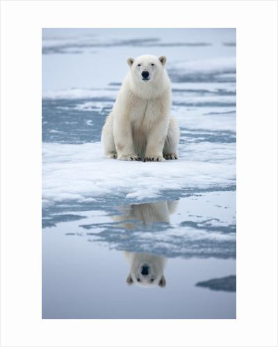 Polar Bear on ice by Corbis