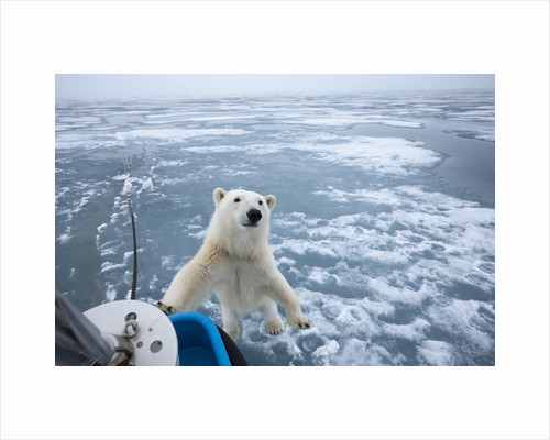 Polar Bear leaning on bowsprit on ice by Corbis