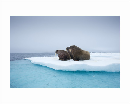 Group of Walrus on ice by Corbis