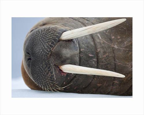 Walrus on ice by Corbis