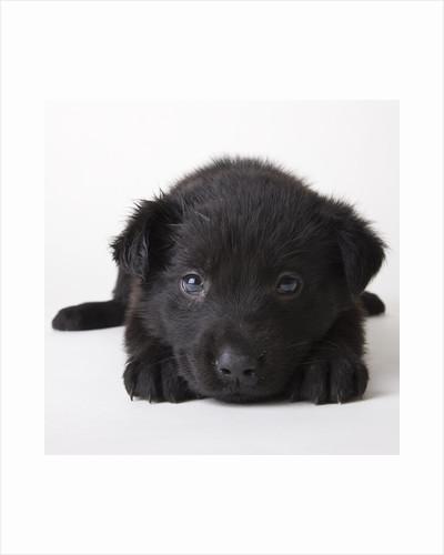 Black labrador puppy by Corbis