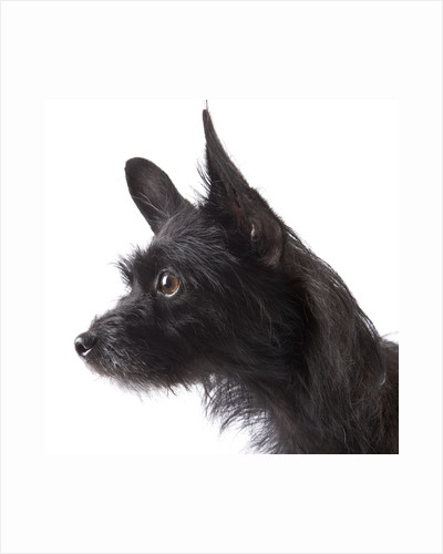 Black toy terrier by Corbis
