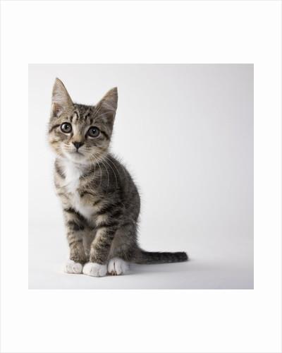 Tabby kitten by Corbis