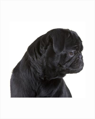 Black Pug by Corbis