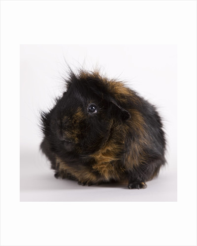 Black and tan Guinea pig by Corbis