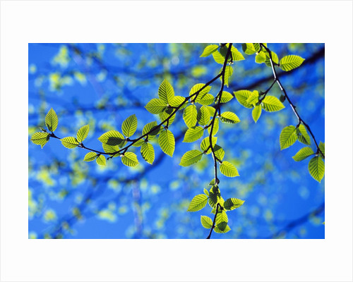 Spring Leaves, Irving Nature Park, Saint John, New Brunswick, Canada by Corbis