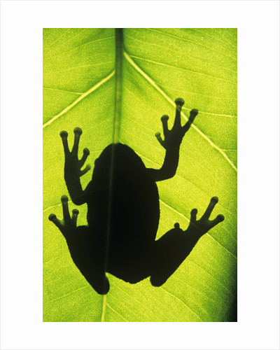 Silhouette of an Eastern Tree Frog (hyla Versicolor) Clinging to a Leaf, Walden, Ontario, Canada by Corbis