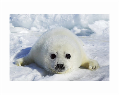 Harp Seal on the Ice in the Gulf of St Lawrence, Maritime Provinces, Canada by Corbis