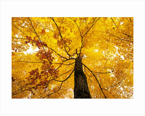 A Sugar Maple (Acer Saccharum) in Fall Colours, Mississagi Provincial Park, Ontario, Canada by Corbis