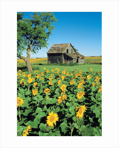 Sunflower Field, Old House, Beausejour, Manitoba, Canada. by Corbis
