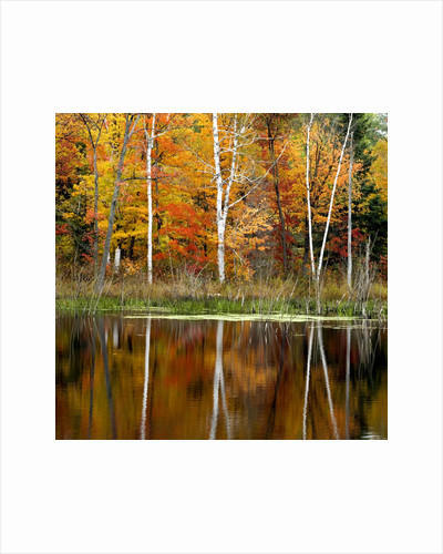 Autumn Colour Reflected in a Beaver Pond, Point Au Baril, Ontario, Canada. by Corbis