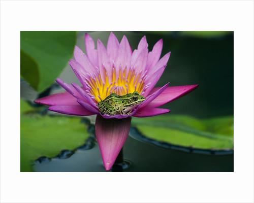 Frog on Waterlily in Urban Pond; Leo Mol Garden; Assiniboine Park, Winnipeg, Manitoba, Canada. by Corbis