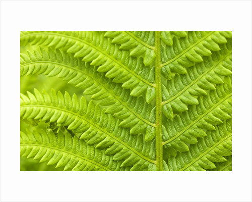 Cinnamon Fern (Osmunda Cinnamomea) Detail of Emerging Fronds, Lively, Ontario, Canada. by Corbis