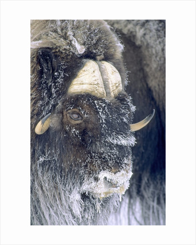 Adult Bull Muskox (Ovibos Moschatus) Covered with Frost. Banks Island, Northwest Territories, Arctic Canada. by Corbis