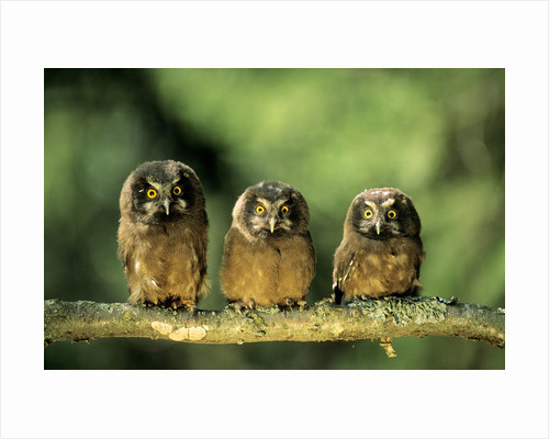 Young Boreal Owl Chicks (Aegolius Funereus), Northern Alberta, Canada. by Corbis