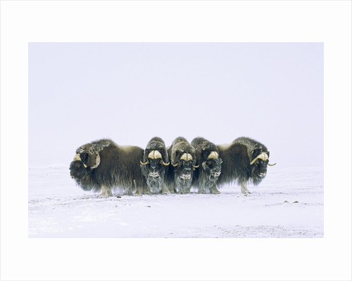 Adult Bull Muskoxen (Ovibos Moschatus) in Defensive Line. Banks Island, Northwest Territories, Arctic Canada. by Corbis